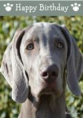 Weimaraner-Happy Birthday (No Theme)